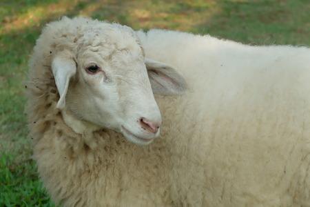 sheepy: sheepy sheep