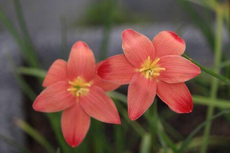 Zephyranthes Sassy pink