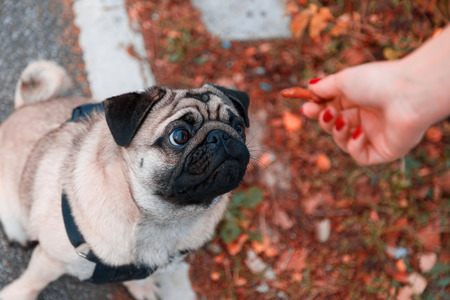 Pug looking at biscuit in feeding hand