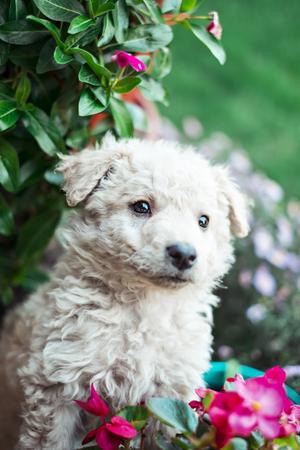 Cute white pulin puppy in flowers