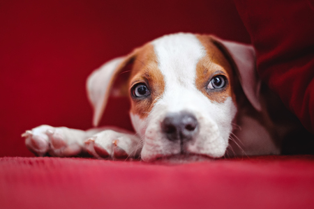 Puppy lying on the red bed, by the pillow and looking far Banco de Imagens - 94514763