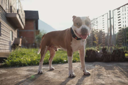 Goofy and smiling Amstaff dog standing in the backyard and looking to the side. Beautiful mountains and sunlight in the background.