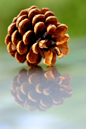 reflective background: Pine cone closeup on reflective background