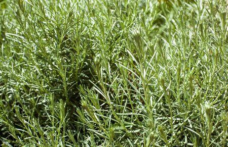 dense: Dense rosemary bush closeup with small raindrops  green background texture