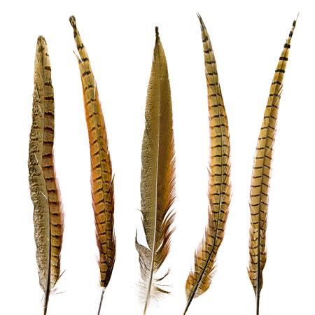 white feather: piume di fagiano set Archivio Fotografico