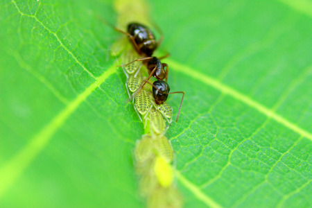 symbiosis: Ant harvesting leaf hoppers nectar macro shot shallow depth of field