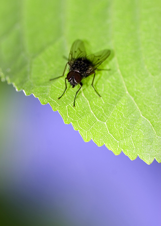 housefly: Housefly on a leaf macro shot shallow depth of fiel