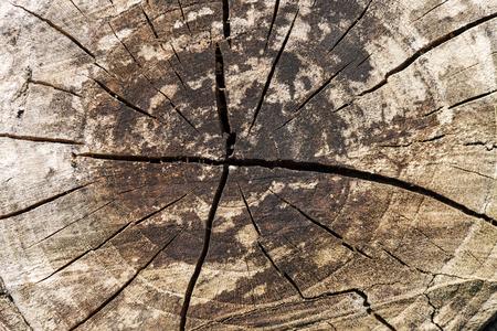 Texture of sawed tree trunk closeup photo