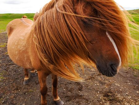 animal hair: Authentic Icelandic horse, beautiful friendly animal