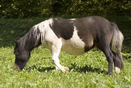 mini farm: Miniature pony horse in a pasture Stock Photo