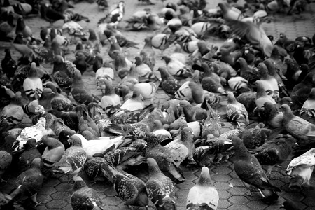 Urban pigeons in monochrome shallow depth of field