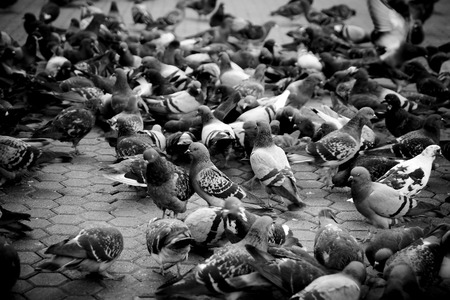 pidgeon: Urban pigeons in monochrome shallow depth of field