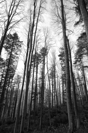 Forest scene in monochrome Stock Photo