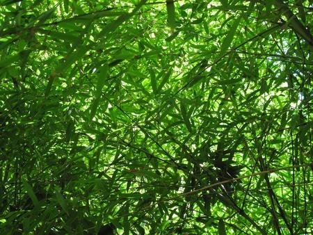 Dense bamboo leaf foliage