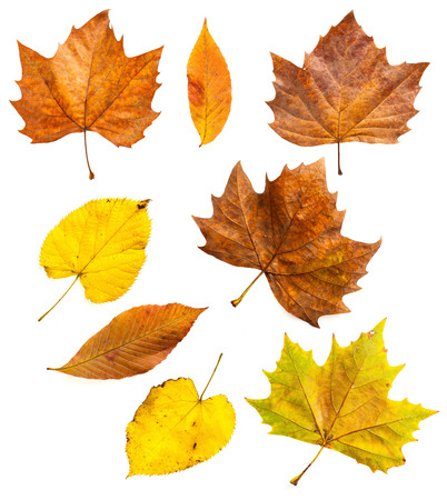 Autumn leaves isolated on white set