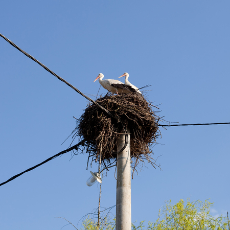 The White Storks Ciconia ciconia on the nest