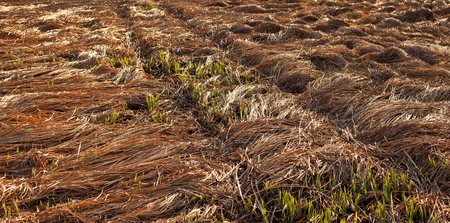 Fallen crops on the field in autumn Stock Photo