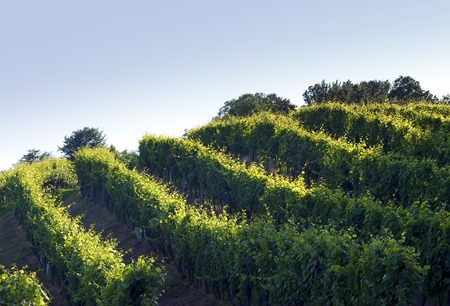 Vineyard hills in the sunset