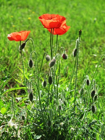 Poppy flower in the wild Stock Photo