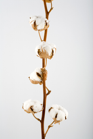Cotton blossoms isolated on white  with depth of field