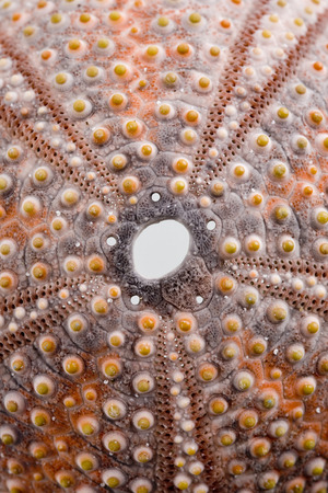 Isolated sea urchin with depth of field
