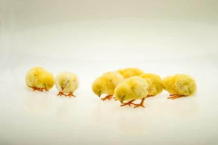 Little yellow chicks