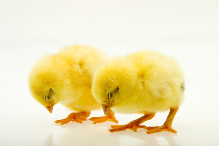 Little yellow chicks Stock Photo - 120142101