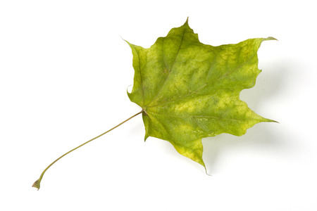 Dry fallen leaf isolated on white paper background