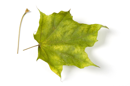 Dry fallen leaf isolated on white paper background Stock Photo - 120142105