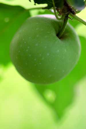 Green delicious apple hanging from a tree branch in an apple orchard