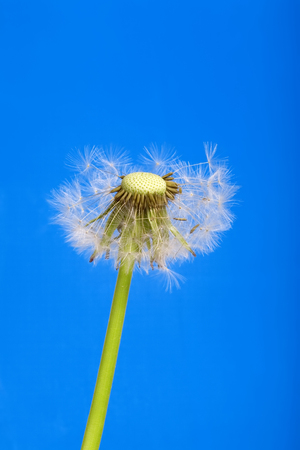 Dandelion isolated on blue background studio shot