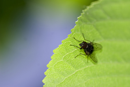 House fly on the leaf, macro - shallow depth of field