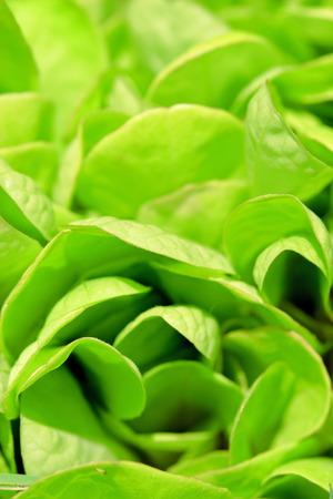 Lettuce. Green background. Macro shot
