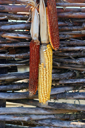 Dried corn cobs on a wooden fence
