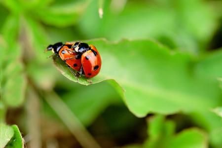 Ladybugs in love - macro shot, shallow depth of field