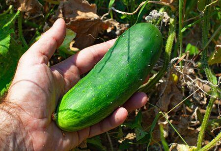 Gardeners hand holding cucumber in the garden