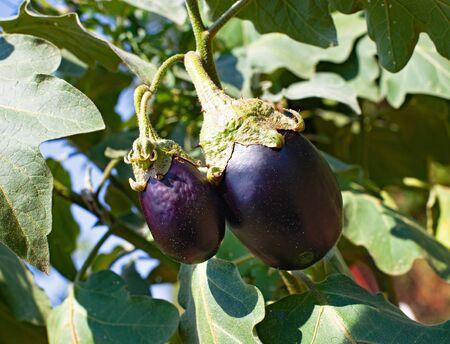Organic eggplant in the garden