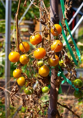 Organic cherry tomatoes growing in the garden