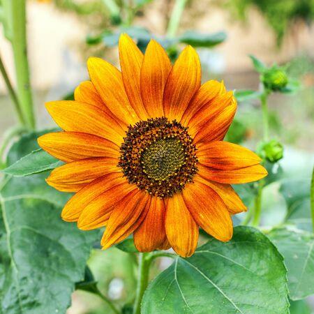 Orange flower blossoms in the garden