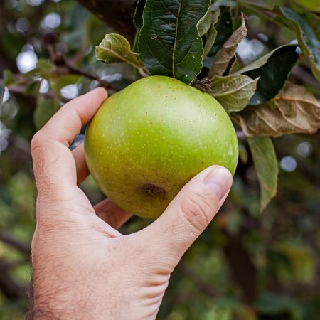 Handpicking green apples from the tree Stock Photo
