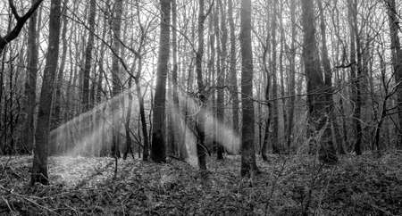 black and white forest with sun beams
