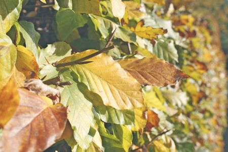 irradiated: Hedge leafs irradiated from the evening sun Stock Photo