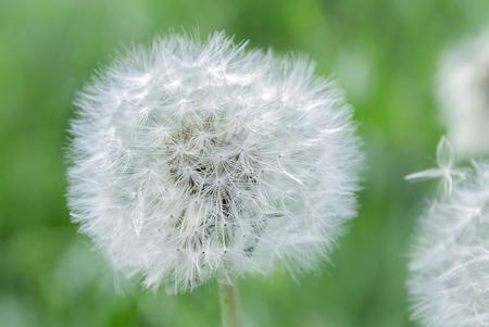 dandelion seed blossom Stock Photo