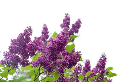 lilac blossoms and leafs isolated on white