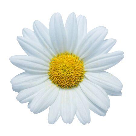 Marguerite flower Stock Photo