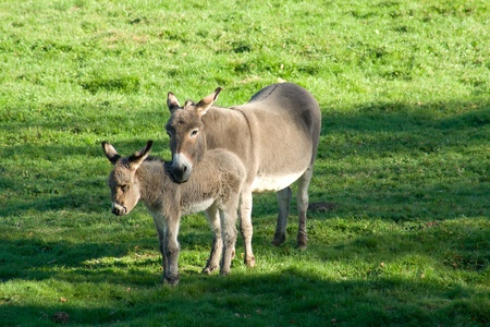 Two donkeys in the meadow with sun Stock Photo - 10959246