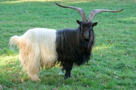 Un negro, blanco, macho cabrío en el prado Foto de archivo