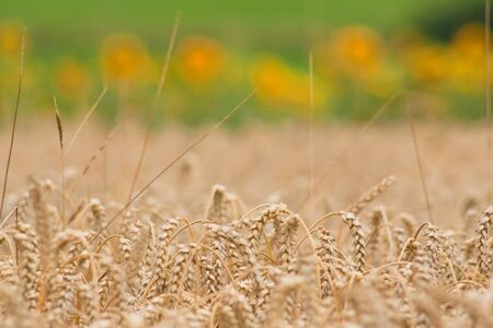 Cornfield with ear and sunflowers in the background photo