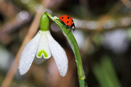 Close-up of a ladybug on a snowdrop photo