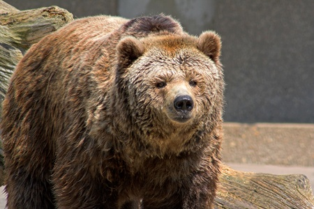 Wet brown bear in front of an old trunk Stock Photo - 11214342